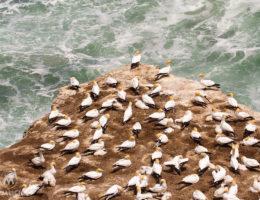 Gannet Colony Muriwai Beach - Matejalicious Travel and Adventure