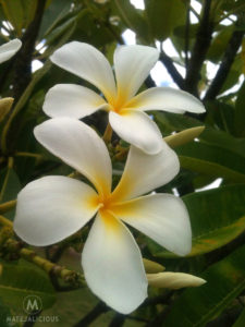 Frangipani - Matejalicious Travel and Adventure