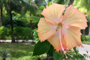 Hibiscus - Matejalicious Travel and Adventure