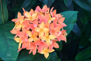Ixora Flower - Matejalicious Travel and Adventure