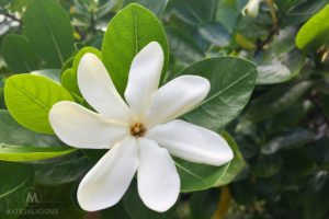Tahitian Gardenia Tiare - Matejalicious Travel and Adventure