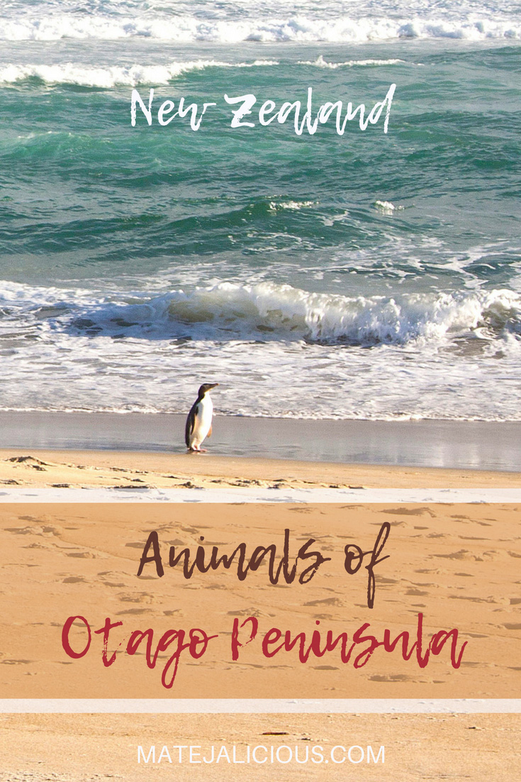 Animals of Otago Peninsula - Matejalicious Travel and Adventure