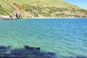 Fur Seals Otago - Matejalicious Travel and Adventure