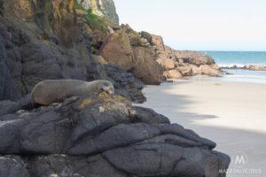 Fur Seals Otago Peninsula - Matejalicious Travel and Adventure