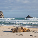 Sea Lions Otago - Matejalicious Travel and Adventure