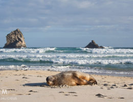 Sea Lions Otago - Matejalicious Travel and Adventure